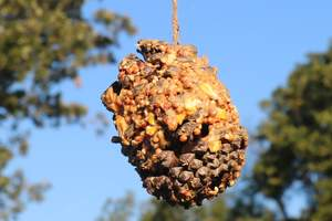 Peanut butter pine cone bird feeder