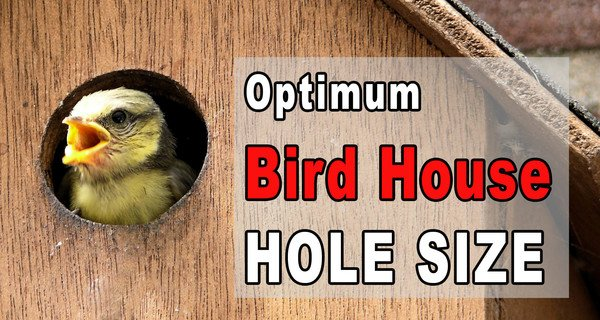 Bird House Hole Size (Best Dimensions)