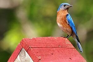 When to clean out a bird house or bird box.