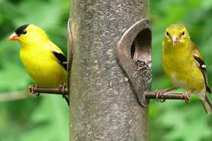 American Goldfinch eating from a bird feeder.