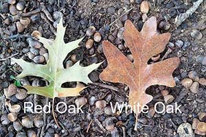 Red oak and White oak leaves.