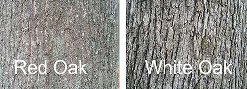 Red oak vs white oak bark.