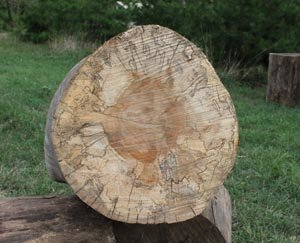 Spalted log with coloration and zone lines.